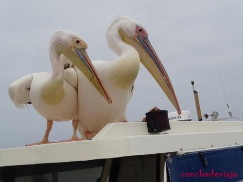 Pelicanos en Walvis Bay