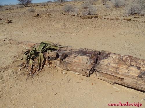 Bosque Petrificado y Welwitschia Mirabilis Namibia