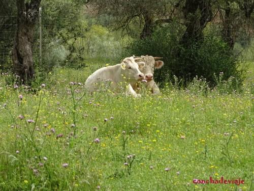 Vacas albinas. El Esparragal