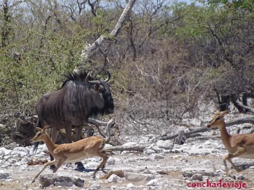 impala y ñu