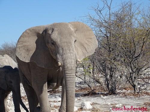 elefante empolvado