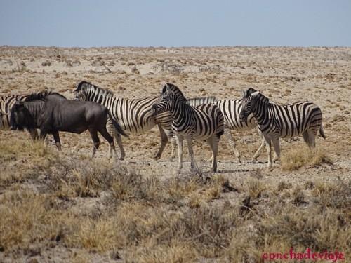 cebras en manada