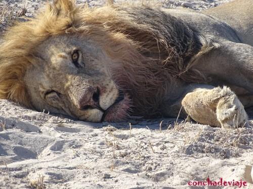 león dormido