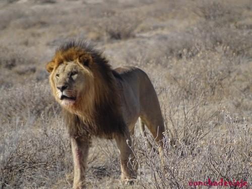 león desafiante
