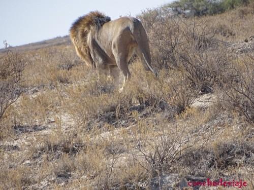 león en actividad