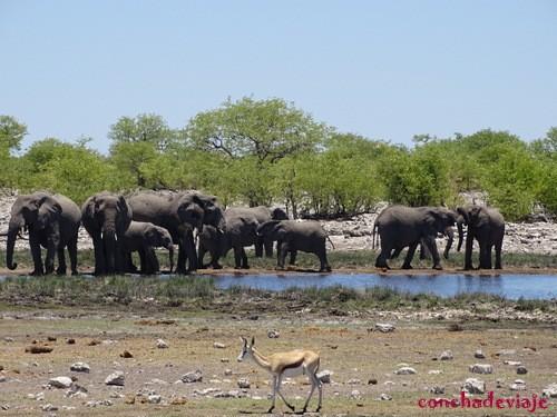 manada de elefante