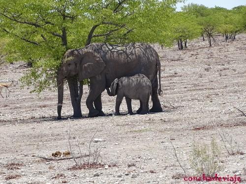 elefante con su cria