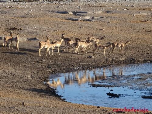 Impalas en la charca