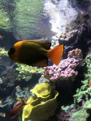 Pez naranja sobre corales el acuario