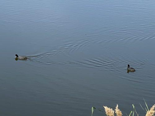 Desembocadura del Guadalhorce, patos