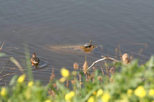 Desembocadura del Guadalhorce, tortugas